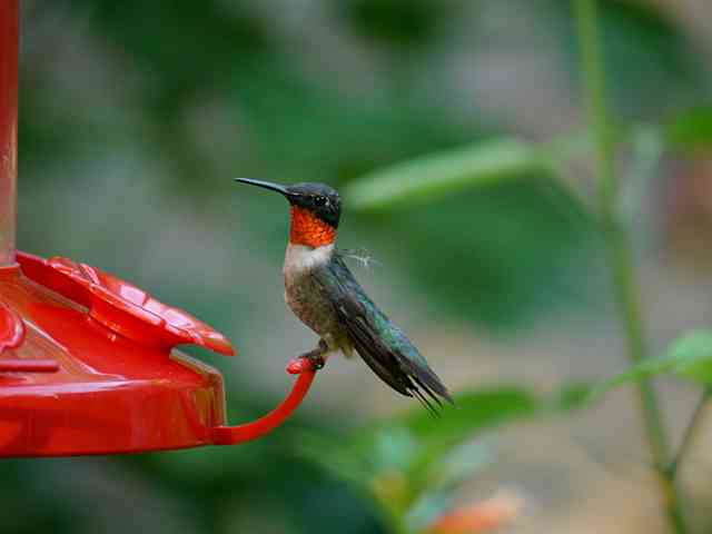 Male Ruby Throat